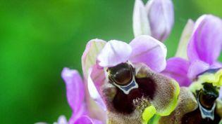 Ophrys deFicalhoana -Haute-Garonne : une orchidée rare observée grâce au confinement (Capture d'écran France 3)