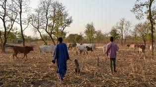 Des éleveurs peuls guident le bétail dans un champ de mil après la récolte, près de Bouna, dans le nord-est de la Côte d'Ivoire, le 21 janvier 2019. (SIA KAMBOU / AFP)