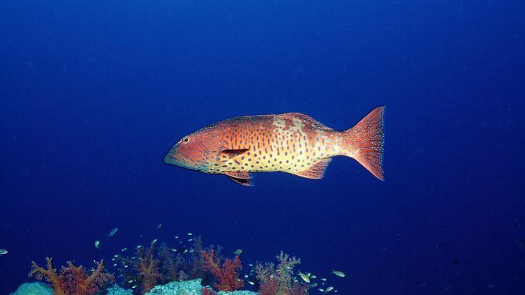 Une étude publiée en août 2012 relève d'étranges taches noires sur une centaine de truites de corail dans l'océan Pacifique. (REINHARD DIRSCHERL / AFP)