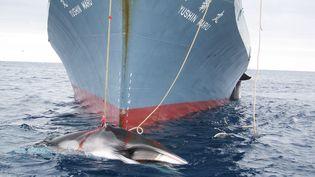 Une baleine est pêchée par un bâteau japonais dans l'océan Antarctique (photo non datée). (HO / AUSTRALIAN CUSTOMS SERVICE / AFP)