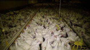 Des poulets dans un élevage dans l'Yonne, d'après la vidéo diffusée par l'association L214. (ASSOCIATION L214)