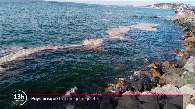Pays basque : une algue inquiétante contamine les plages