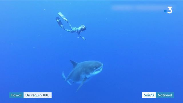 Hawaï : un requin blanc XXL identifié