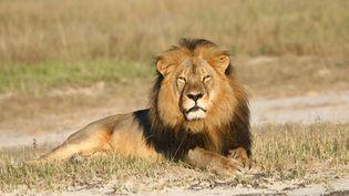 Le lion Cecil dans leparc national de Hwange, au Zimbabwe, à une date indéterminée. (ANDY LOVERIDGE / SIPA)