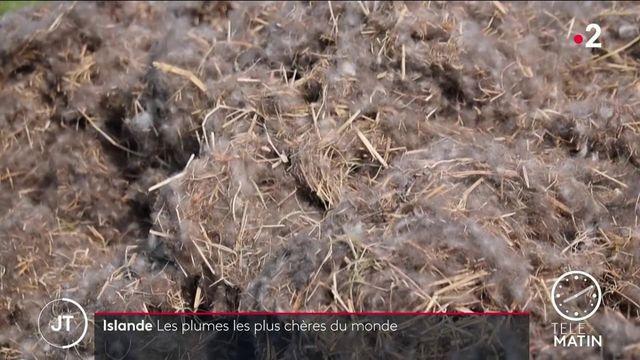 Islande : la récolte des plumes d'eiders, les plus chères du monde