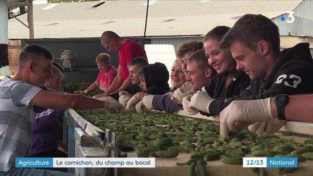 Agriculture : comment les cornichons sont cultivés ?
