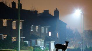 Un cerf se promène la nuit dans une ville de l'Essex (Royaume-Uni), le 30 mars 2015. (MARK BRIDGER / SOLENT NEWS / SIPA)