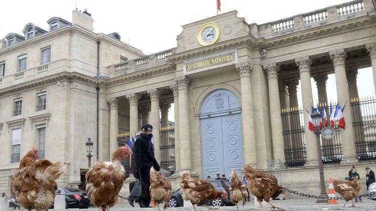 Des poules lâchées par le collectif la Manif pour tous, près de l'Assemblée nationale, àParis, le 4 décembre 2013. (MARTIN BUREAU / AFP)