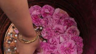 Vaucluse : la rose de mai, une fleur d'exception (FRANCE 2)