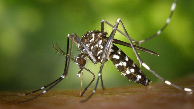 L'aedes albopictus, le moustique tigre, est aujourd'hui présent dans 67 départements en France. Seules les femelles piquent. (SMITH COLLECTION/GADO / ARCHIVE PHOTOS / GETTY IMAGES)