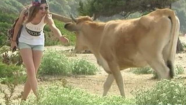 Corse : les animaux en divagation peuvent aussi être dangereux