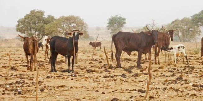 Parcage d'un troupeau de zébus sur un champ de mil à Bagoua (Niger, 2009). (Pierre Hiernaux, Author provided)