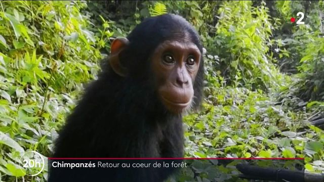 Animaux : à la découverte de chimpanzés en milieu naturel