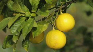 Des bergamotes en Italie. (CAPTURE ECRAN FRANCE 2)