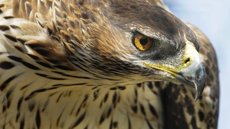 Illustration. L'aigle de Bonelli, une des espèces d'aigles les plus menacées en France. (LAUNETTE FLORIAN / MAXPPP)