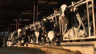 Des vaches laitières (CAPTURE ECRAN FRANCE 2)