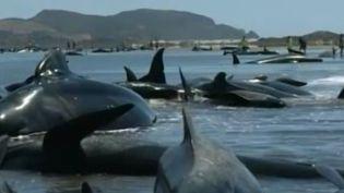 Deux cent baleines se sont échoués, vendredi 13 février 2015, sur une plage de Nouvelle-Zélande. (APTN)
