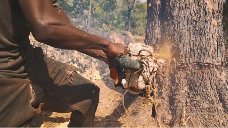 """Un coupeur de bois de rose clandestin en pleine action dans la forêt casamançaise. (Capture d'écran Youtube """"Les arbres saignent"""" par la BBC)"""