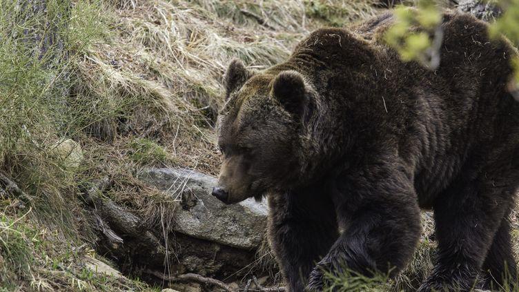 Un ours brun est photographié, le 14 avril 2014, dans le parc naturel des Pyrénées. (MAXPPP)