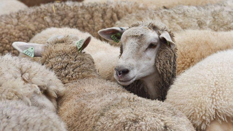 Des moutons photographiés en Belgique, le 30 juillet 2017. (MAXPPP)