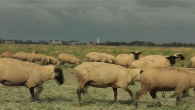 Baie de Somme : à la rencontre des éleveurs d'agneaux de prés salés