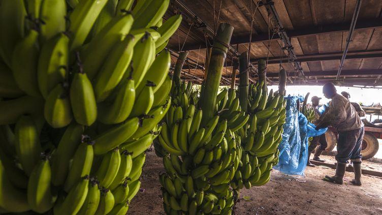 Culture de bananes en Guadeloupe. (photo d'illustration) (BRUSINI AURELIEN / AFP)