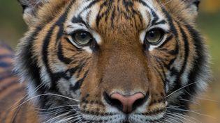 Le tigre Nadia du zoo du Bronx, à New York. (JULIE LARSEN MAHER / WILDLIFE CONSERVATION SOCIETY / AFP)