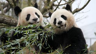 Yuan Zi et Huan Huan, les deux pandas géants prêtés par la Chine au zoo de Beauval (Loir-et-Cher), le 18 février 2012. (TANG JI / MAXPPP)
