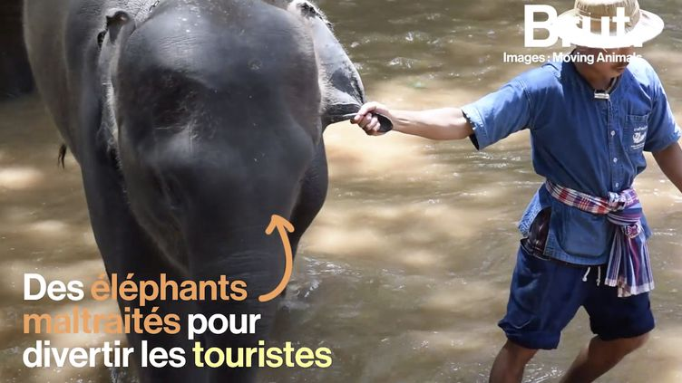 VIDEO. Enchaînés, affamés, frappés… en Thaïlande, des éléphants continuent d'être maltraités (BRUT)