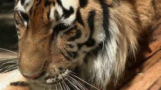 Après deux mois de confinement. les zoos doivent s'adapter pour recevoir à nouveau le public. C'est le cas du parc zoologique de Saint-Martin-la-Plaine, dans la Loire. (France 3)