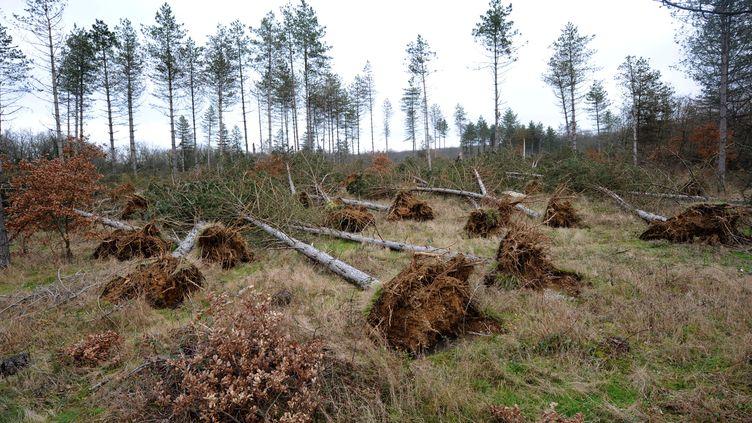 Arbres déracinés dans la forêt de Buzet-sur-Tarn, le 28 janvier 2009. (REMY GABALDA / AFP)