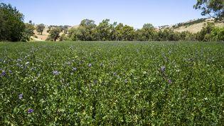 Un champ de luzerne. Cette plante fourragère est l'une des plantes, avec letrèfle, le lin ou encore le sarrasinet la moutarde,qui servent d'engrais vert. (GETTY IMAGES)