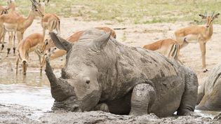 Un rhinoceros dans le parc Kruger, en Afrique du Sud, le 21 janvier 2014. (JEAN-JACQUES ALCALAY / BIOSPHOTO / AFP)