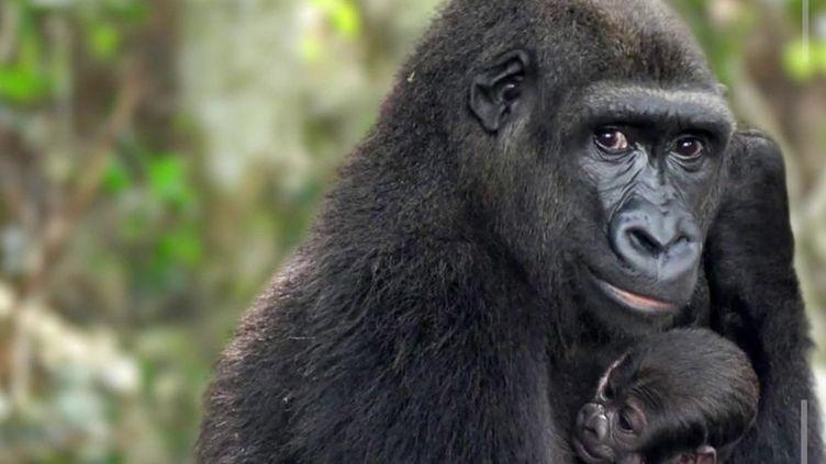 Photo Hebdo : canicule aux Etats-Unis et naissance d'un bébé gorille au Gabon (France 2)