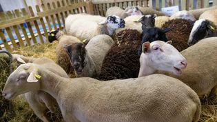 Des brebis au Salon de l'agriculture. (AURELIEN MORISSARD / MAXPPP)
