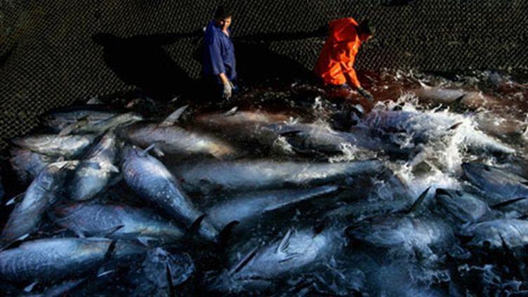 Pêche au thon rouge (AFP - José Luis Roca)