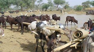 Troupeau de zébus et d'ânes en transhumance au Niger (novembre 2006).Pierre Hiernaux,CC BY-NC-ND (Pierre Hiernaux, CC BY-NC-ND)