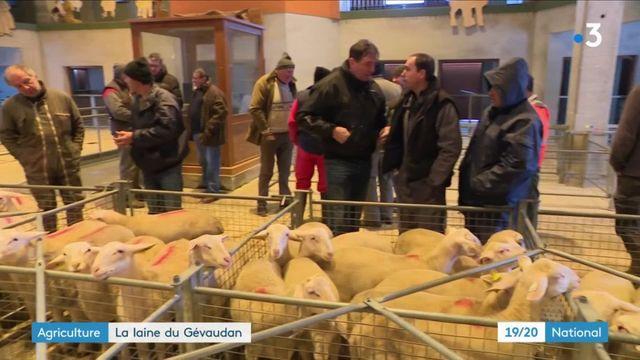 Agriculture : la laine de brebis revalorisée en Haute-Loire
