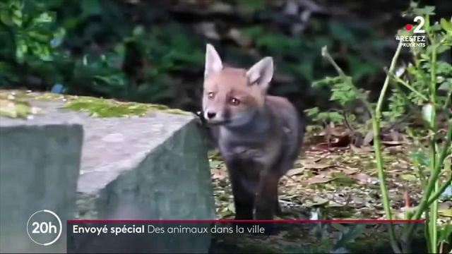 Déconfinement : des animaux se réfugient en ville