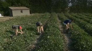 Récolte de melon àCavaillon (FRANCE 3)