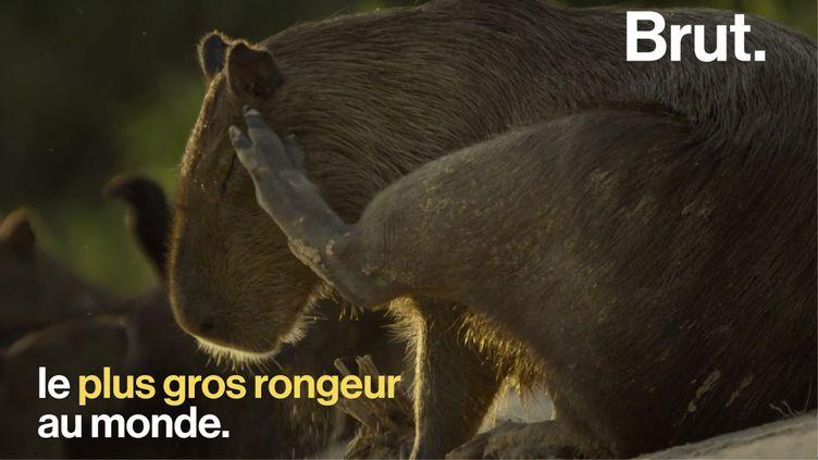 VIDEO. Connaissez-vous le capybara, le plus grand rongeur au monde ? (BRUT)