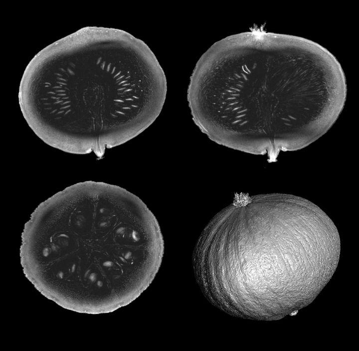 Le immagini della zucca provengono da una risonanza magnetica del Progetto Iseult (CEA)
