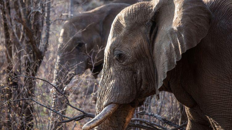 Des éléphants dans le parc national de Pilanesberg, en Afrique du Sud, le 19 septembre 2016. (GIANLUIGI GUERCIA / AFP)