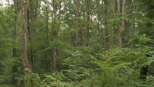 Privés d'eau à cause la sécheresse qui touche une grande partie de la France, des arbres sont asphyxiés et donc coupés en masse. (France 3)