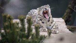 Un léopard des neiges dans son enclos du zoo de Stuttgart, en Allemagne, le 26 mars 2018. (SEBASTIAN GOLLNOW / DPA / AFP)