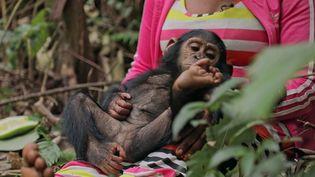 Animaux : en République démocratique du Congo, elles s'occupent de chimpanzés (France 3)