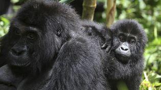 Des gorilles des plaines de l'Est, dans le Sud-Kivu en République démocratique du Congo, le 5 novembre 2012. (REUTERS STAFF / REUTERS)