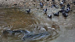 Les silures ,poissons carnassiers pouvant atteindre jusqu'à 2,5 mètres, mangent les pigeons qui viennent boire au bord du Tarn à Albi en sortant partiellement de l'eau -ALBI LE 03/09/2012 (MAXPPP)