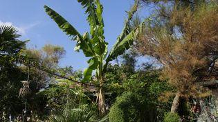 Même un petit jardin peut accueillir un bananier, comme ici au Jardin du Clos Fleuri dans la Drôme. (ISABELLE MORAND / RADIO FRANCE / FRANCE INFO)