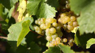 Des raisins dans un vignoble de Chablis (Yonne). (MAXPPP)